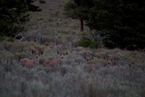 Herd of Mule Deer along Medano Pass Primitive Road