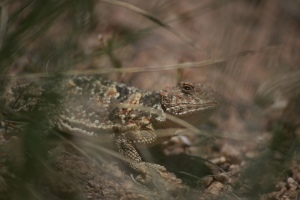 Short Horned Lizard Photographed along Mosca Pass