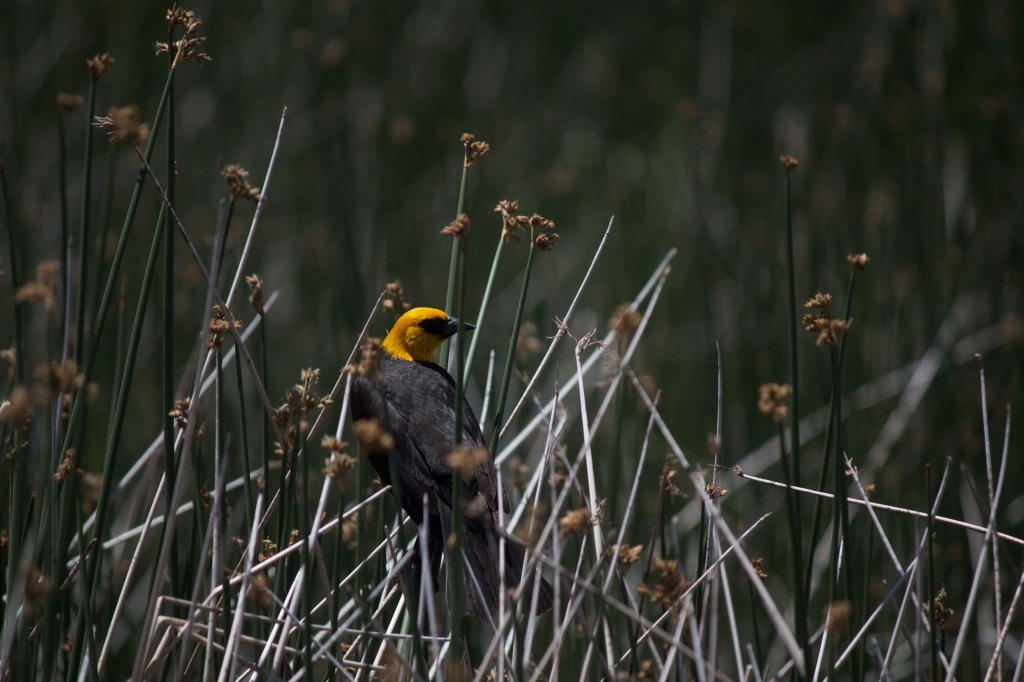 Yellow-Headed Black Bird in Alamosa Wildlife Refuge.  Despite the arid climate of the valley, wetlands are a key feature of the area that attract a vast diversity of birds.