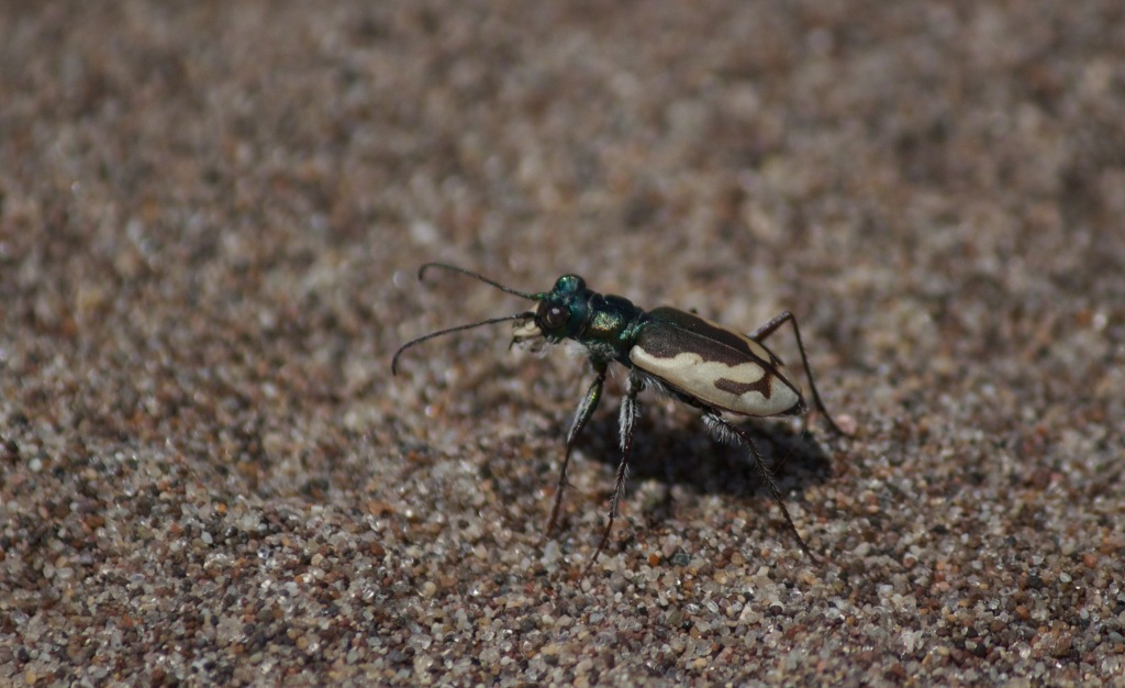 Fig. 1: Great Sand Dunes Tiger Beetle, endemic to Great Sand Dunes National Park