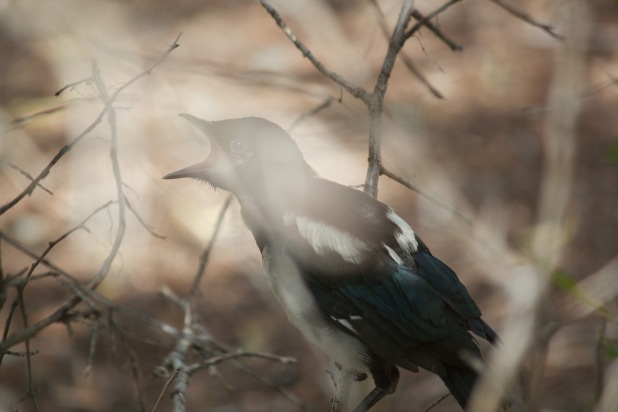 Black Billed Magpie Fledgling